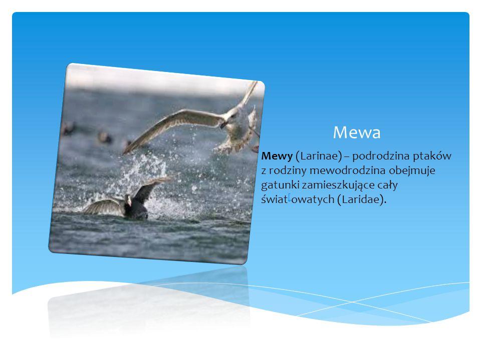 Mewa Mewy (Larinae) – podrodzina ptaków z rodziny mewodrodzina obejmuje gatunki zamieszkujące cały świat[owatych (Laridae).